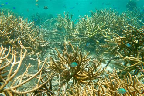 Large Stretches of Coral Reefs Can Be Rehabilitated | UC Davis