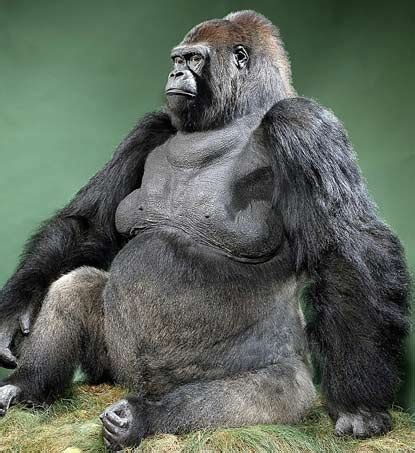 Guy the Gorilla's back for some monkey business in mating